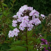 Phlox All in One