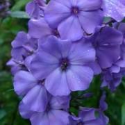 Phlox Blauer Morgen