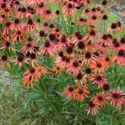 Echinacea Art's Pride