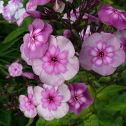 Phlox Magic Blue