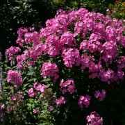 Phlox p Little Princess