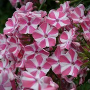 Phlox p Swerings Flage