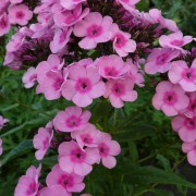 Phlox pan Baby Face