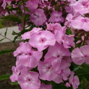 Phlox pan Miss Olga