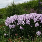 Phlox pan Violetta Gloriosa
