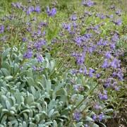 Salvia daghestanica