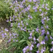 Salvia lavandulifolia ssp blancoana