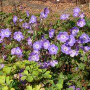 Geranium ´Rozanne´ počátkem října