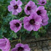 Geranium cinereum ´Lawrence Flatman´