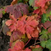 Geranium macrorrhizum ´Ingversen´s Variety´ - podzimní barva listů