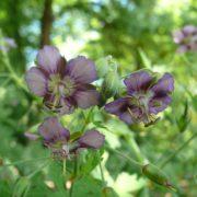 Geranium phaeum ´David Bromley´