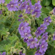 Geranium renardii ´Terre Franche´