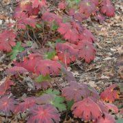 Geranium wlassovianum ´Blue Star´ - podzimní zbarvení listů