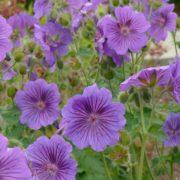 Geranium x magnificum ´Hylander´