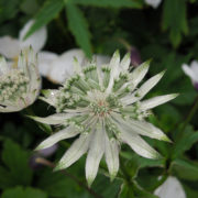 Astrantia major White Giant (syn. A. m. Superstar)