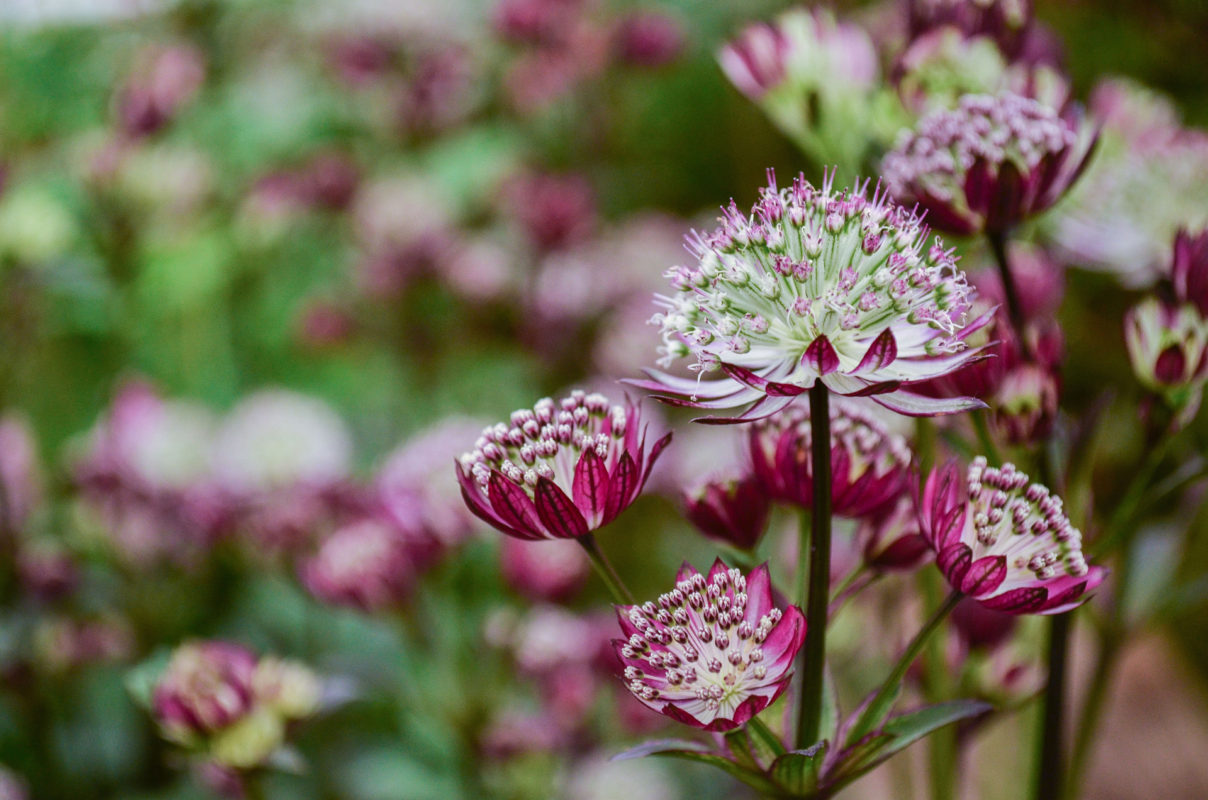 Astrantia major Star of Passion