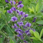 Baptisia ´Blueberry Sunday´
